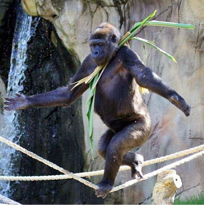 Funny animals of the week - 28 March 2014 (40 pics), gorilla balancing on rope