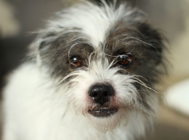 Shih Tzu Jack Russell Terrier Mix