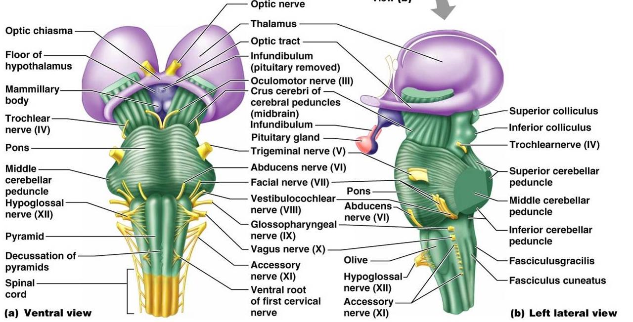 Anatomy Made Easy : Brainstem -Neuroanatomy-
