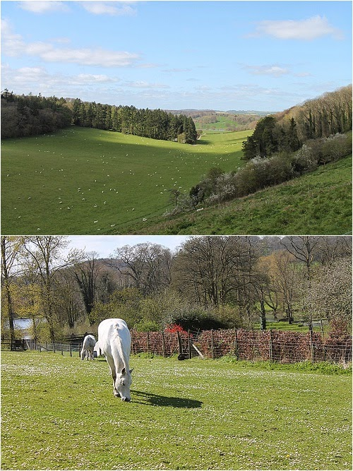 wiltshire countryside, sheep in fields, white horse