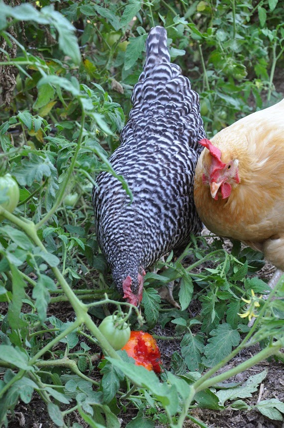 Reader 39 S Question How Do I Keep The Chickens Out Of My Garden Community Chickens