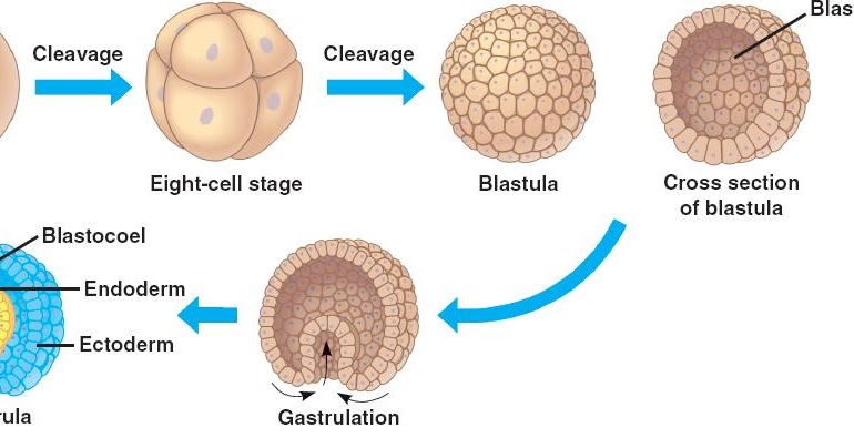 embryonic development Embryonic development all embryonic structures are derived from a single cell formed by the union of two gametes.