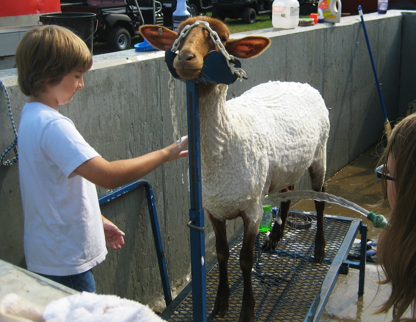 a 4h er prepares his wooly