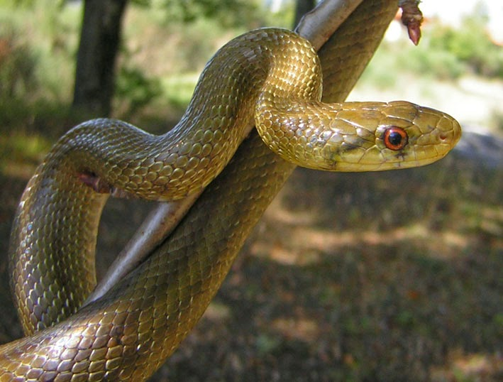 Serpenti di tutto e di pi saettone occhirossi for Nomi di rettili