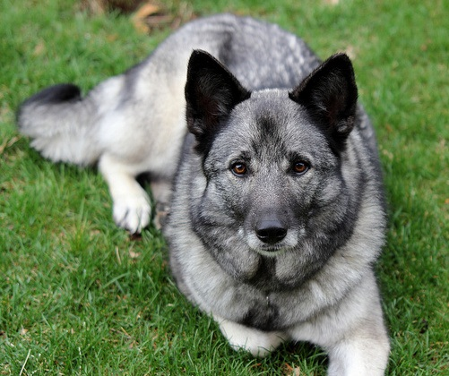 about dog norwegian elkhound training your norwegian elkhound to