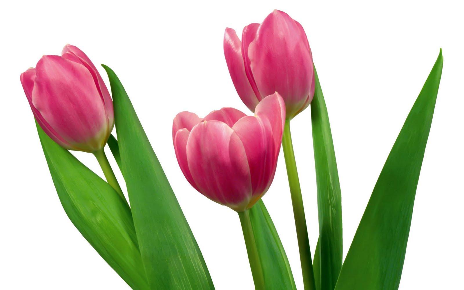 Tulips  Send Beautiful Tulip Bouquets  1800Flowerscom