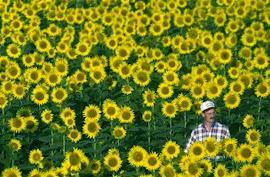 Ένας αγρότης σ' ένα χωράφι με ακολουθίες Fibonacci.