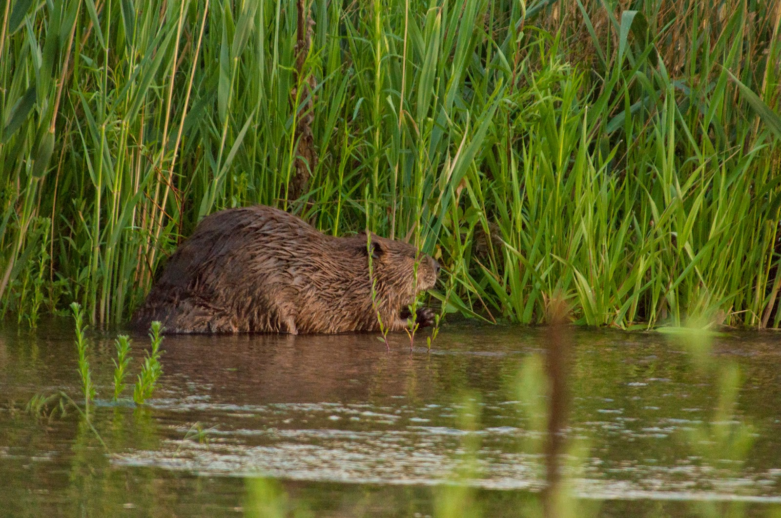 South Platte Park Beaver