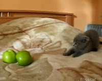 gato vs manzanas