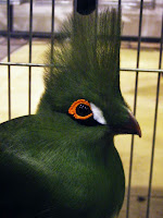 Aves: um pássaro verde com uma crista