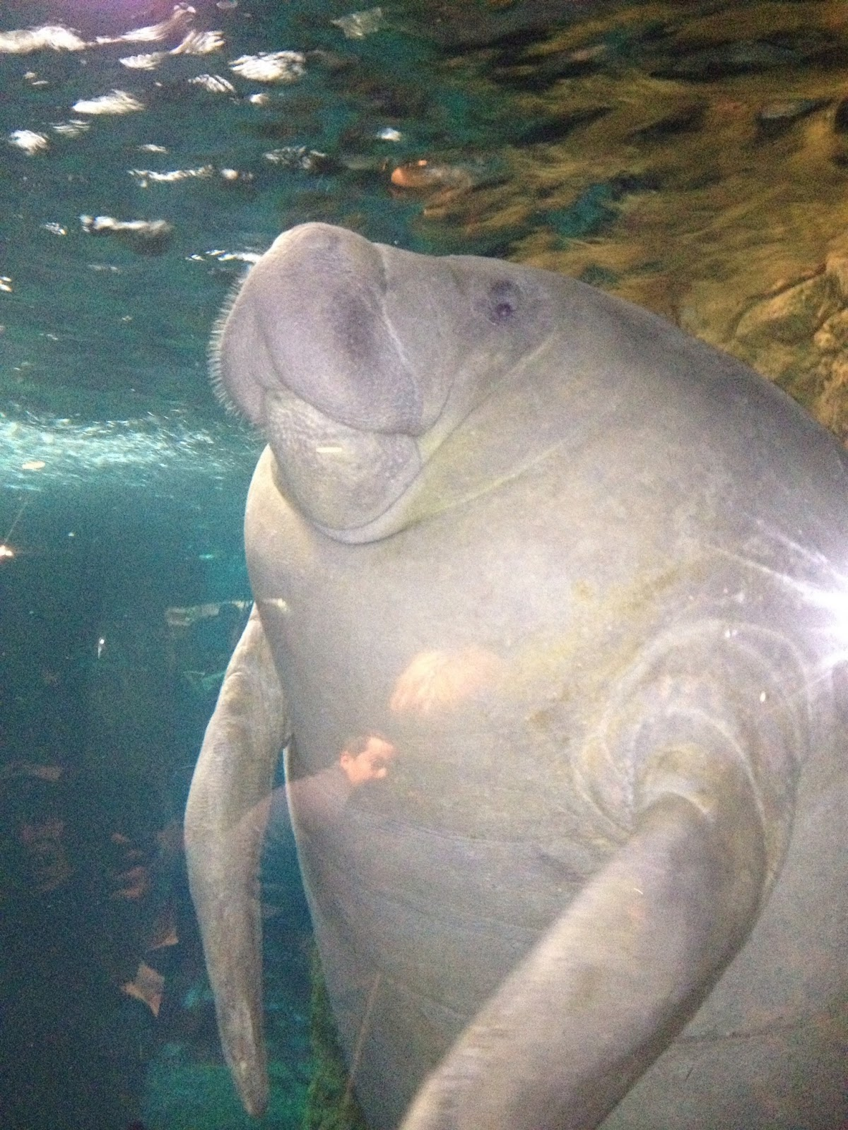 the manatee should be protected A manatee should live in nice shallow water like bays what eats a manatee in the indian river lagoon why do the manatees need to be protected.