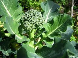 Planta de Brocolis