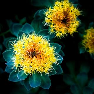 Planta afrodisiaca cu efecte garantate, intra in componenta pastilei de potenta X-Pill. Una dintre cele mai eficiente pastile de potenta naturale. Tratarea impotentei natural