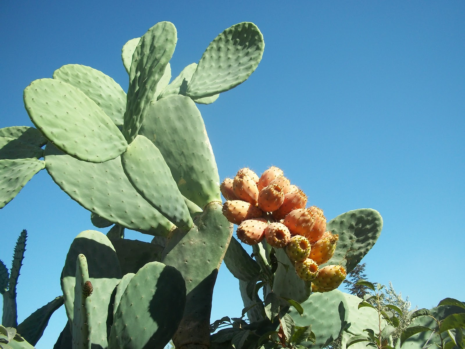how to grow nopal cactus