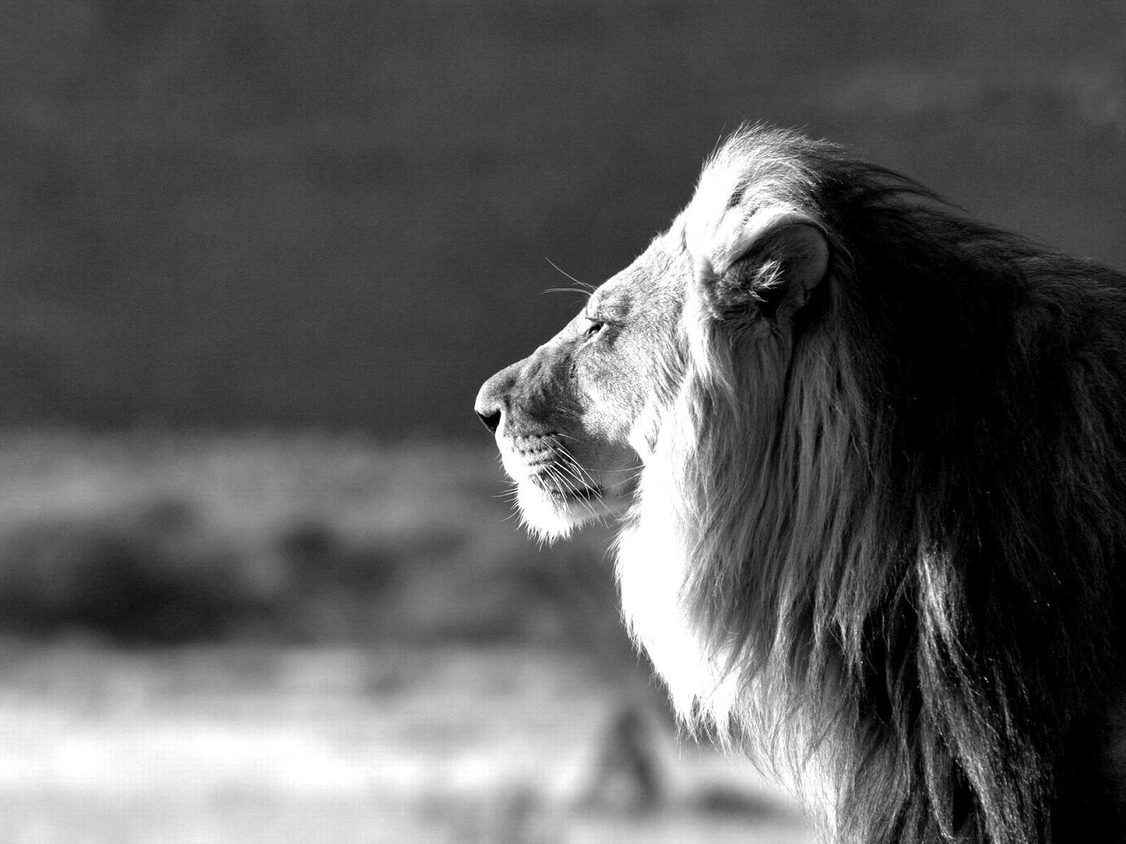 male lion black and white jungle king lion wallpapers