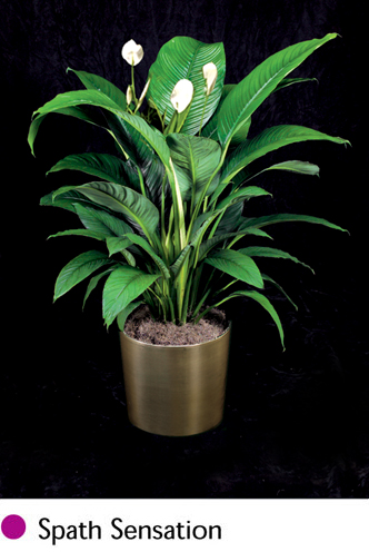 Is your basement lacking some green space? Looking to add life to your office desk? Some of the most colorful and easy-care indoor plants thrive in low-light conditions. Use them in almost every room in your home. Be sure to rotate your plants every few weeks so that the side of the plant facing the wall is getting its fair share of sun. Check out our top picks of houseplants for dark rooms.
