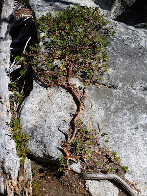 Arctosaphylos uva-ursi – Kinnikinnick on Shore of West Colchuck Lake