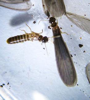 Imago of the termite Termes comis
