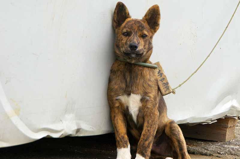 Ryukyu Life The Ryukyu Inu Photos Okinawa S Pedigree Dog