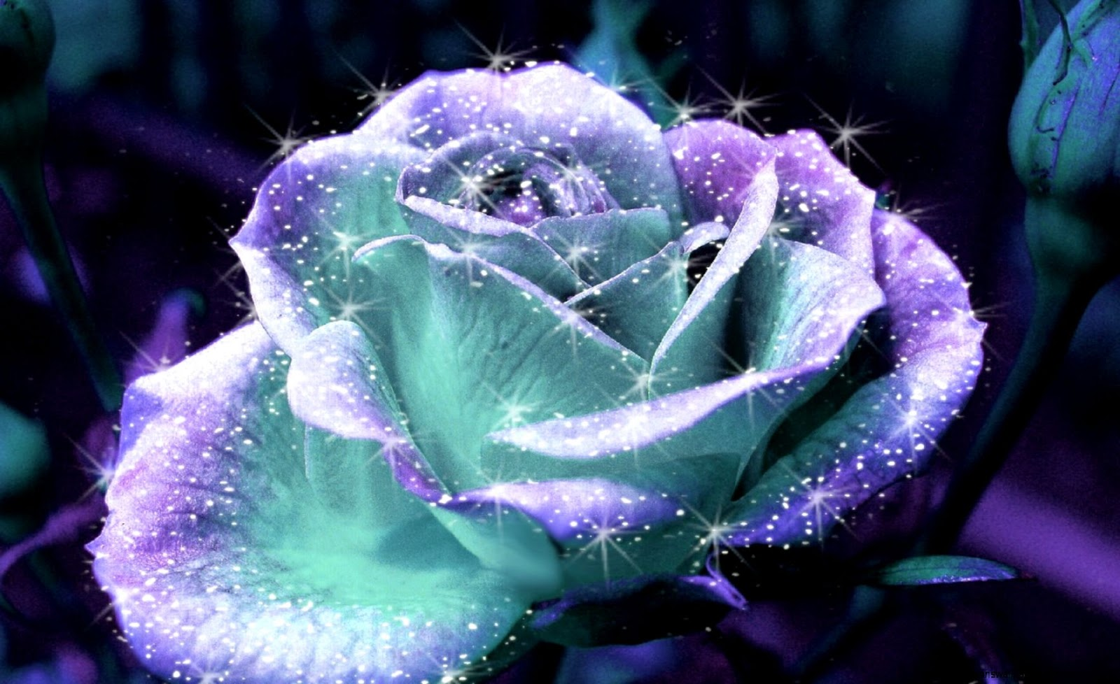 Beautiful purple shiny rose flower wallpaper high definitions view original size izmirmasajfo