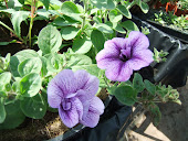 Surfinia lilac veined double