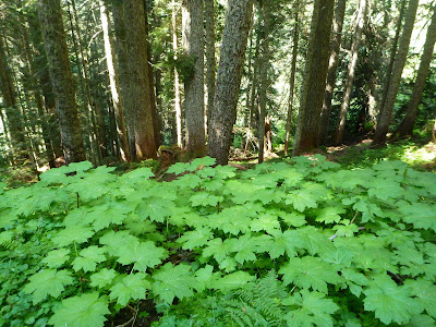 Devil's Club in a Wet Spot in the Old-Growth Forest