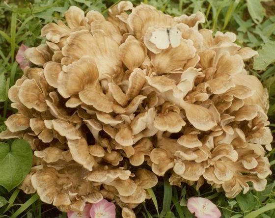 Mushroom maitake