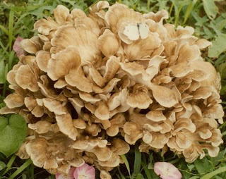 Maitake mushroom is one of the medicinal mushrooms.