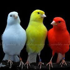 Kenari atau Serenius Canarius bukan burung asli dari Indonesia, namun