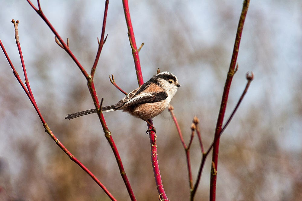 Long-tailed tit - March 2014 Milton Keynes