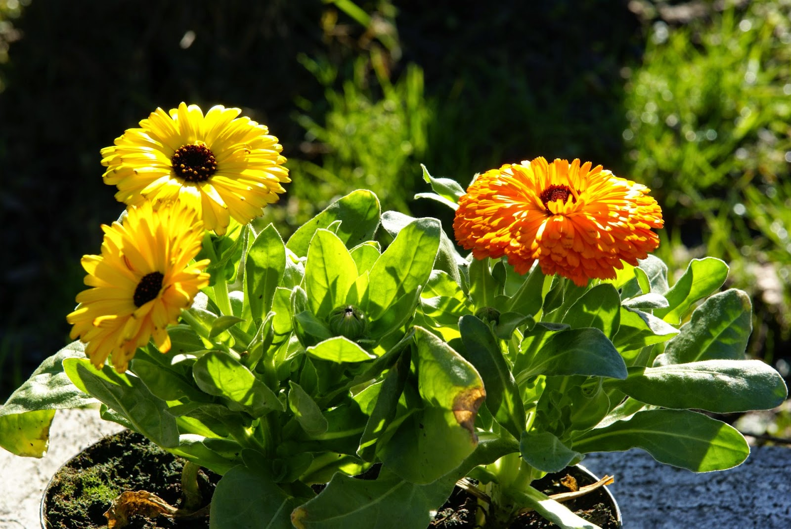 Calendula - the benefits and harm, application and popular recipes 76