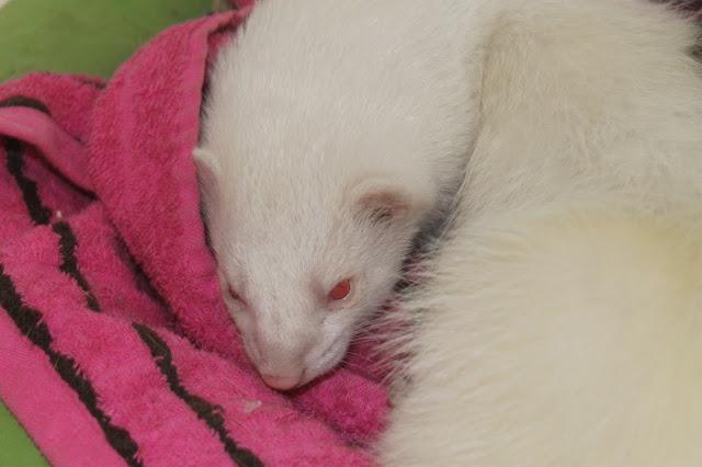 albiino fretti