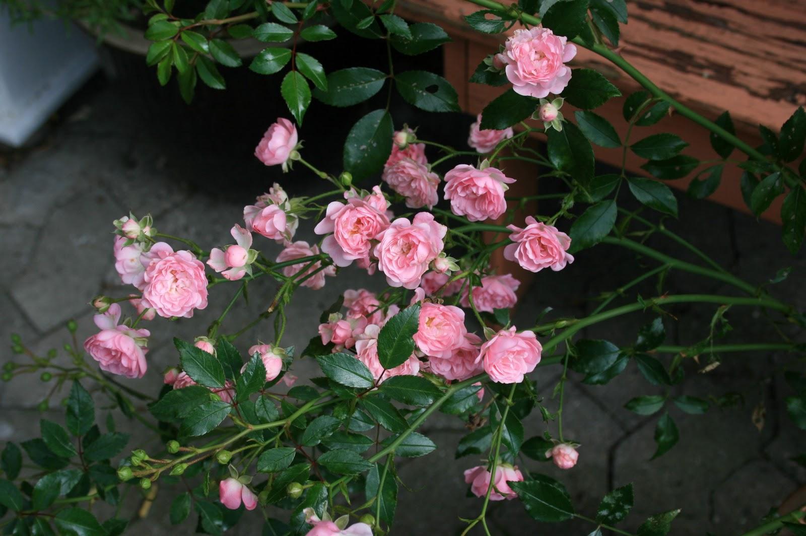 den yndigste rose gravid efter ægløsning