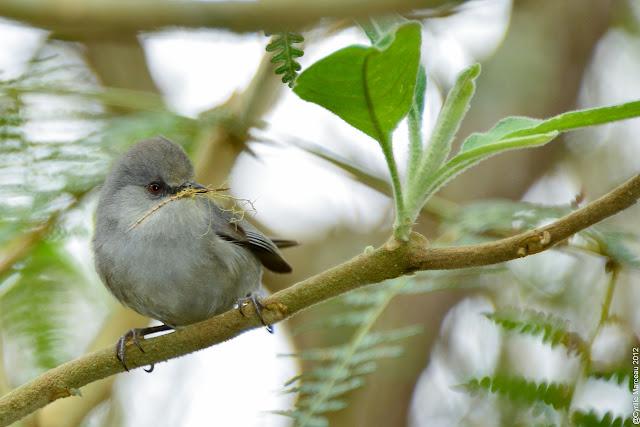 Zost rops des mascareignes oiseau lunettes gris ou zoizo for Oiseau gris et blanc