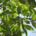 Dipterocarpus kerrii/ Keruing gondol