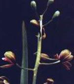 Anggrek Tien Soeharto (Cymbidium Hartinahianum)