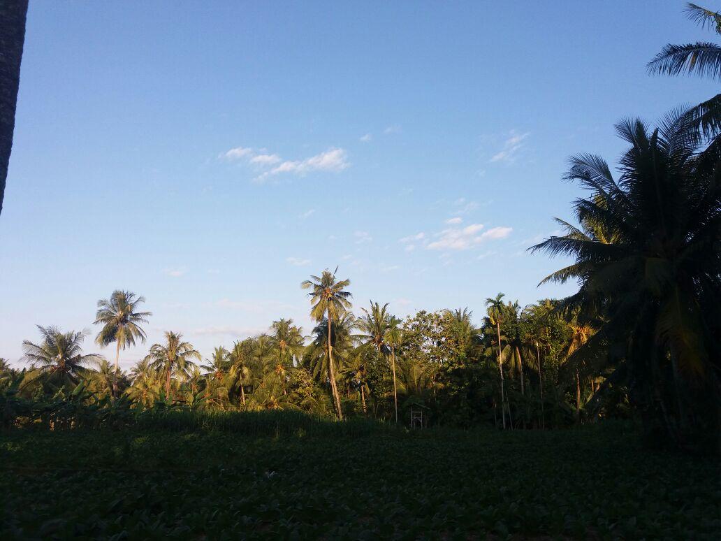 Info Pertanian Desa Aengtongtong Saronggi