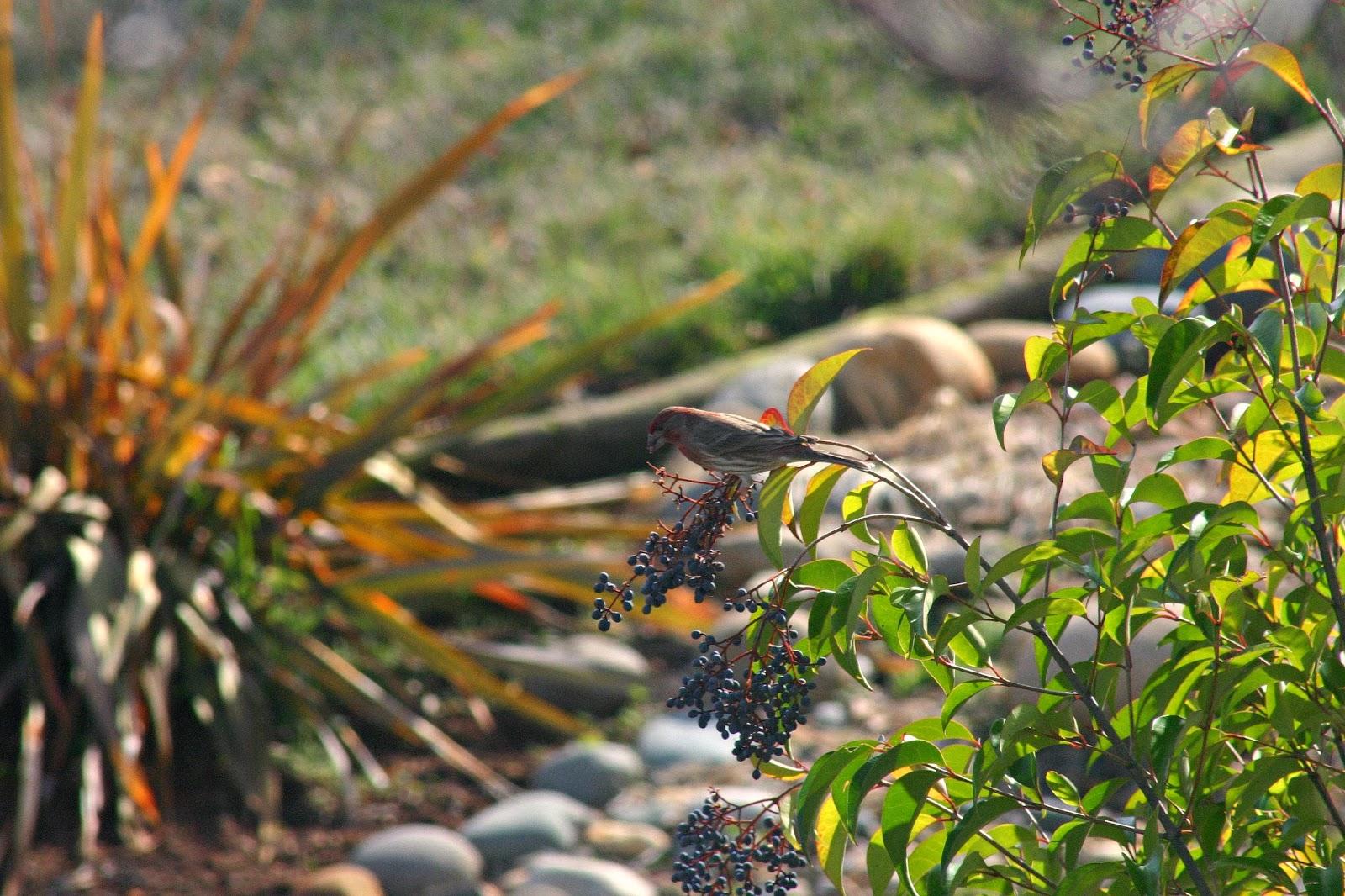 great backyard bird count u2013 2014 results