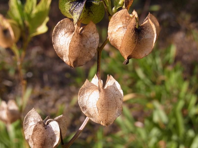 の 仲間 は ほおずき ゴールデンベリー(食用ほおずき)の栽培