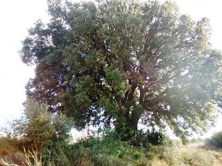 Carrasca de San Gregorio, partida Saso (Alberuela de Laliena)