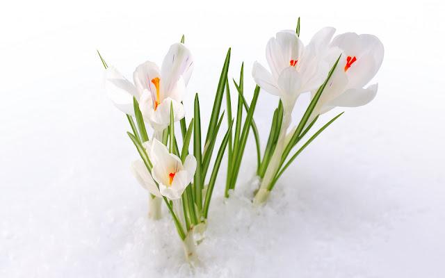 Witte krokussen in de sneeuw
