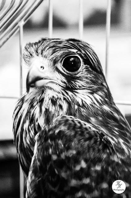 Falcon - Y&Y Photography