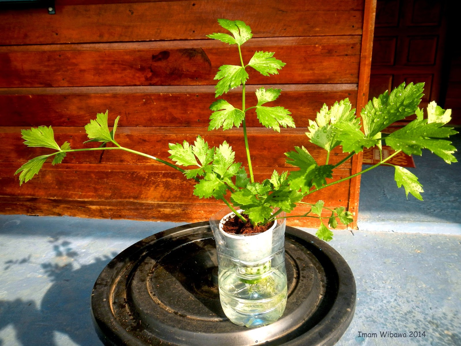 Celery Hydroponic, Seledri Hidroponik