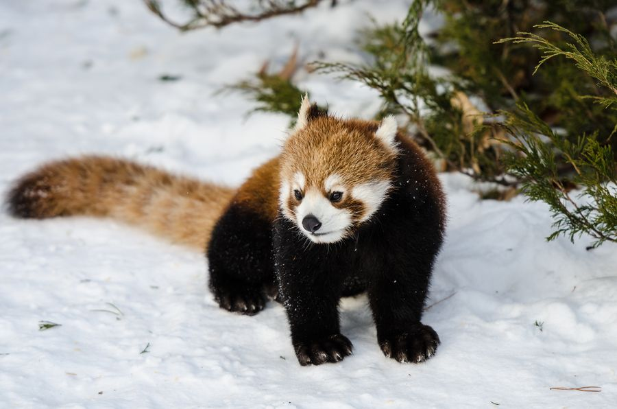 18. Red Panda by Brian Preston