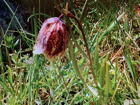 Fritllaria involucrata (Meleagride piemontese)