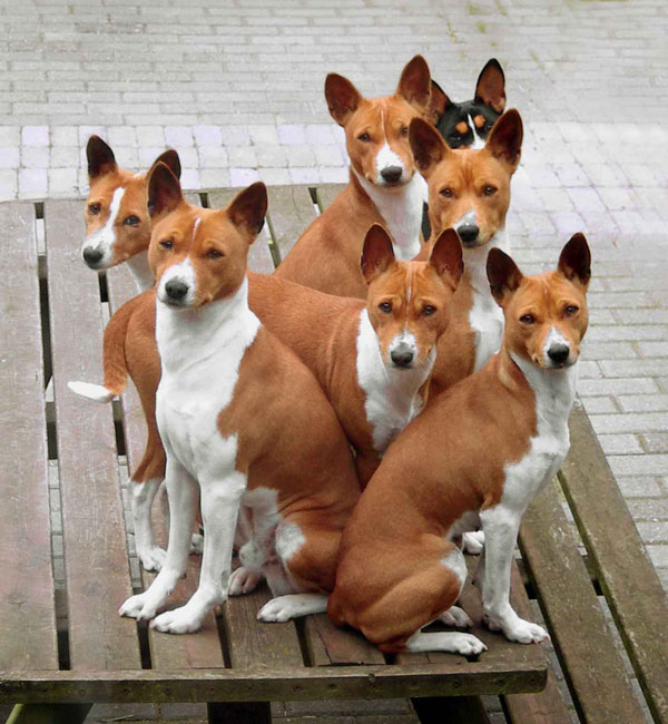 basenji dog pictures the funny basenji dog pictures the basenji dog ...