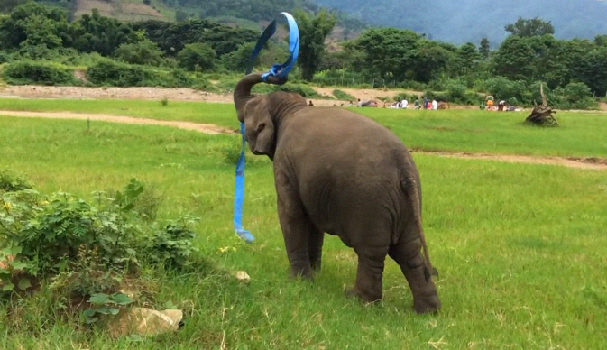 Elephant playing with a blue ribbon, so cool to Watch