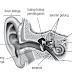 Indera Pendengaran Manusia