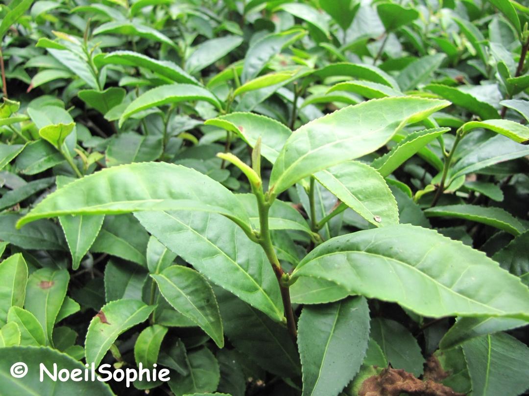 Le n 39 oeil de sophie th ier for Plante 9 feuilles