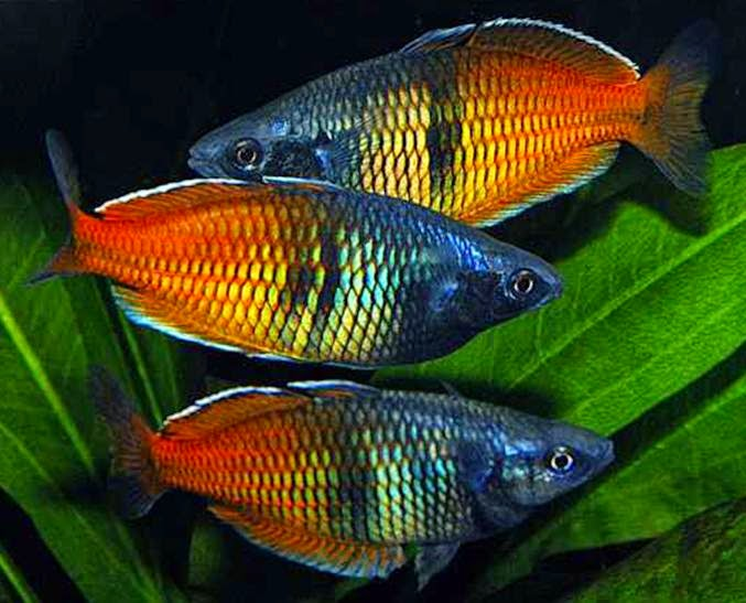 Rainbowfish fish : fellow soooo cute pcs boesamani feb per pc rainbows the sold by paul ...